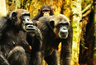 Chimps can use gestures to communicate in hunt for food