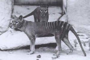 Twasn't illness what killed off the Tasmanian Tiger. T'was man!