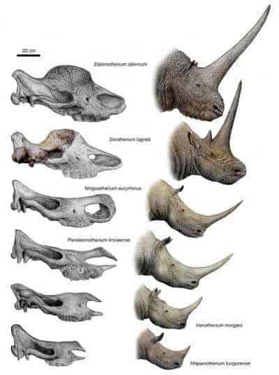 single horned triceratops Oranienburg
