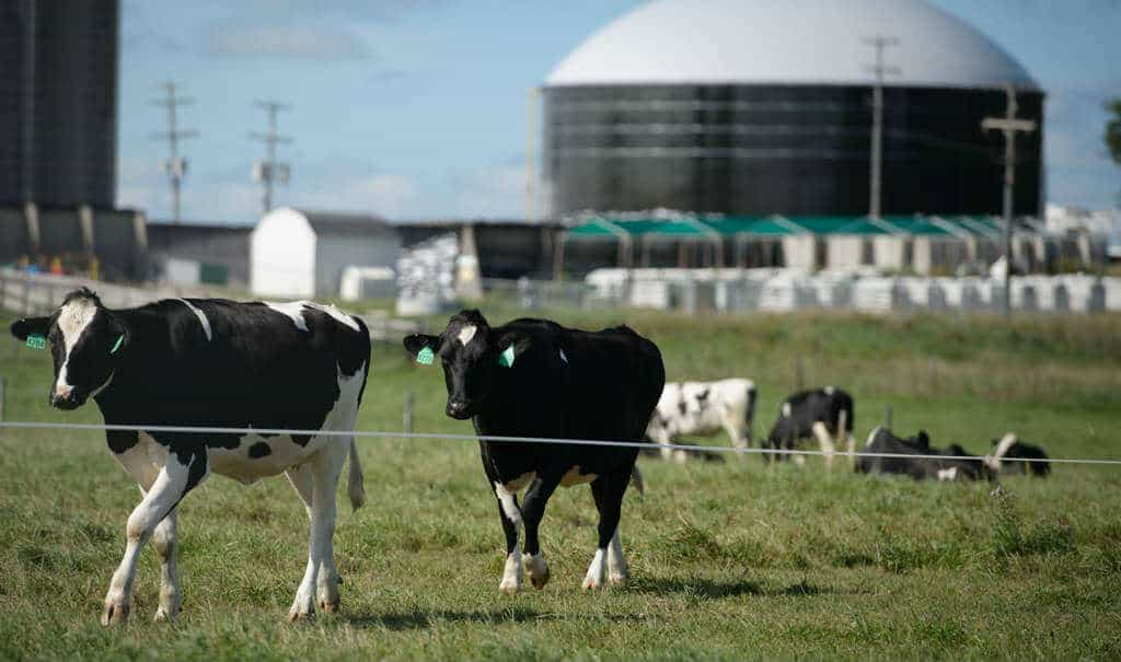 cows-and-digester-1