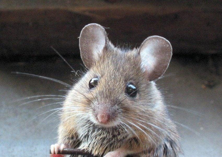 Natural Supplement Fisetin Prevents Alzheimer's in Mice