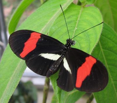 Researchers sequence world's first butterfly bacteria, find surprises