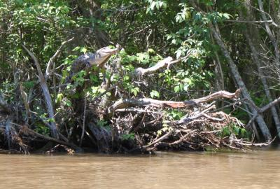 University of Tennessee study finds crocodiles climb trees