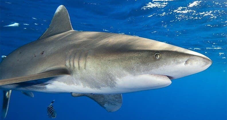 Even a shark's electrical 'sixth sense' may be tuned to attack