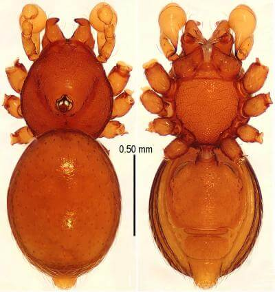 Lurking in the darkness of Chinese caves 5 new species of armored spiders come to light