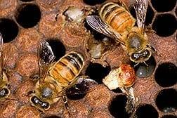 Disinfecting Honey Comb with Ozone