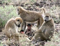 Having and raising offspring is costly phase of life for baboon moms