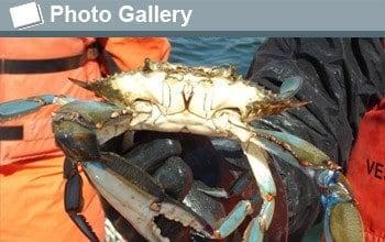 blue_crabs_f_f