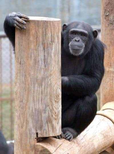 Chimps like listening to music with a different beat