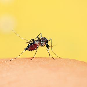 aedes_mosquito_0