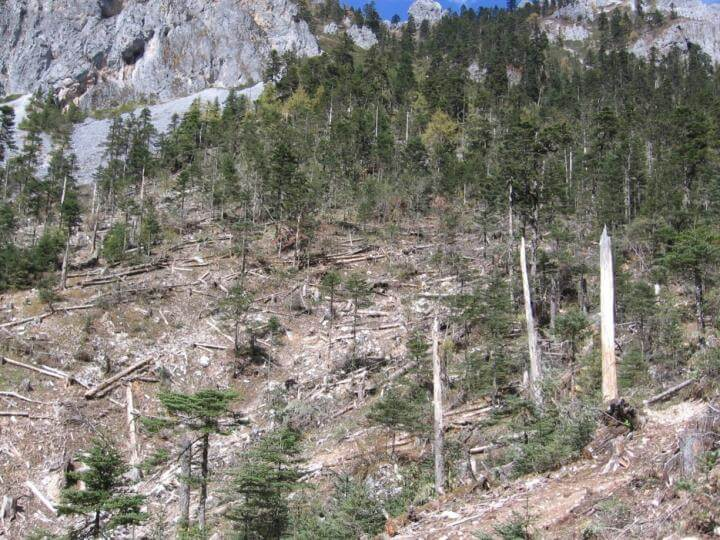 China's old-growth forests vanishing