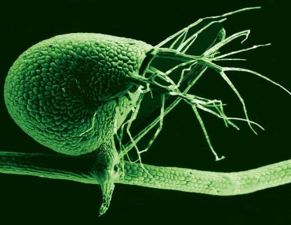 Carnivorous plant packs big wonders into tiny genome
