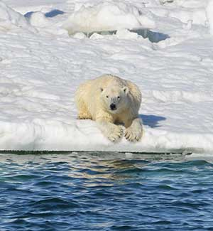 Polar Bears Unlikely to Thrive on Land-based Foods