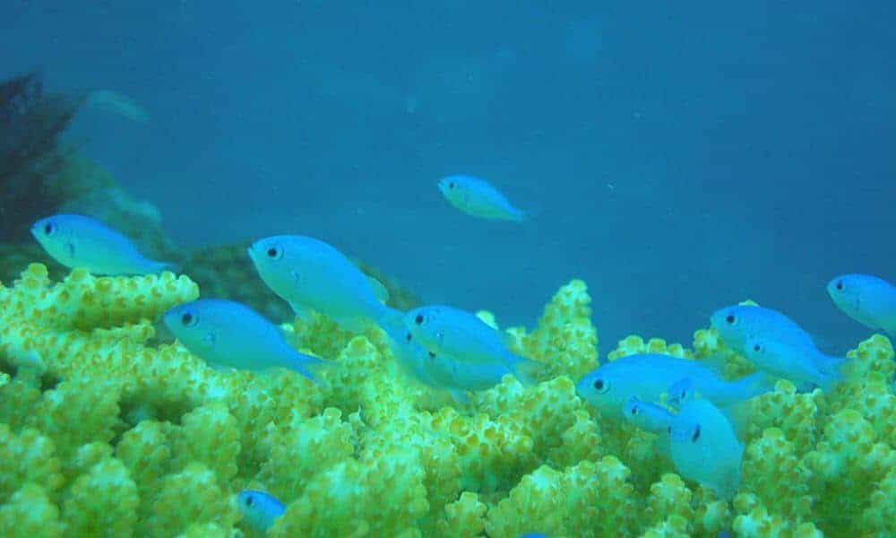 Fish To Buy Of Oil Impairs Ability Of Coral Reef Fish To Find Homes And