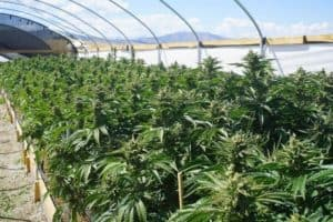 New study of how US recreational cannabis legalization could change illegal drug markets