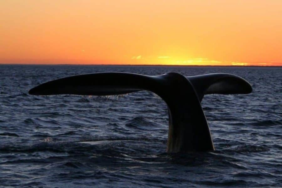 Feces from entangled North Atlantic right whales reveals 'sky-high' stress levels