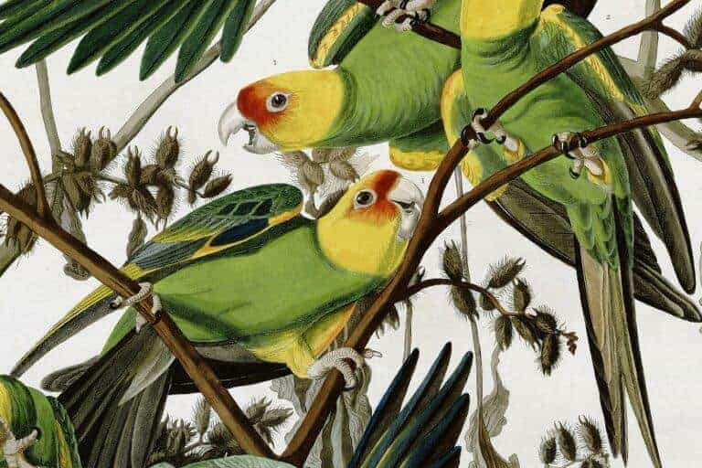 The Tragic Story of America's Only Native Parrot