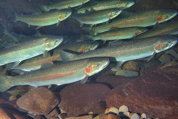 Ocean-migrating trout adapt to freshwater environment in 120 years