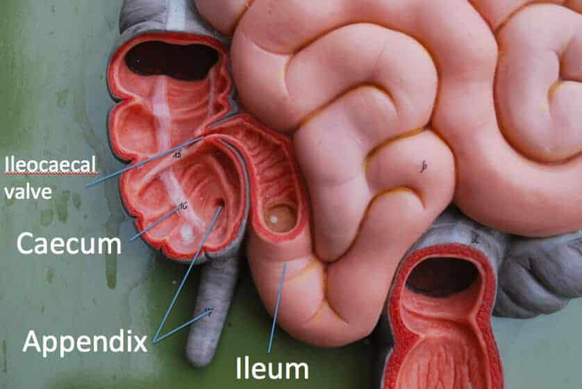 Link between appendicitis and allergies discovered