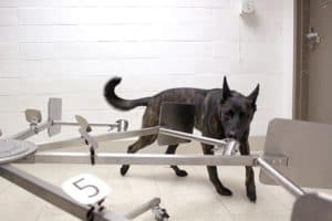 COVID-19 Canine Scent Detection Study