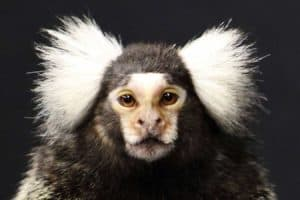 Monkeys, like humans, may have 'self-domesticated'