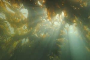Could kelp help relieve ocean acidification?