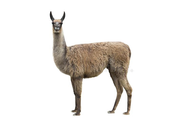 Llama 'nanobodies' could hold key to preventing deadly post-transplant infection