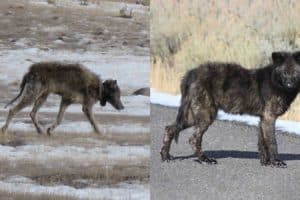 Mange in Yellowstone wolves reveals insights into human scabies and conservation biology