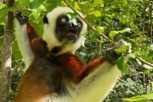 Flexible Diet May Help Leaf-Eating Lemurs Resist Deforestation