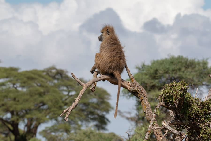 Stress and Death in Female Baboons — as Measured by Hormones in Poop