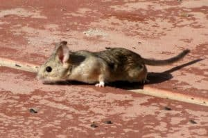 Pack rat nests offer first look at ancient insect DNA