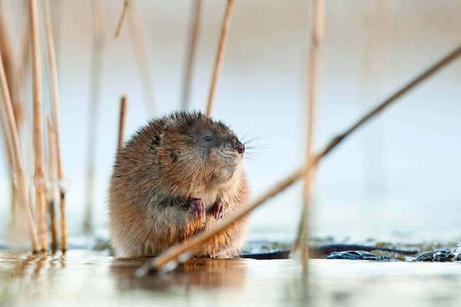Muskrats are a bellwether for a drying delta