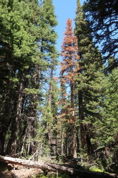 Extreme heat, dry summers main cause of tree death in Colorado's subalpine forests