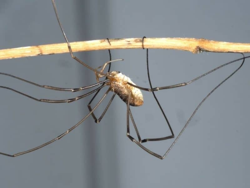 Daddy longlegs got their long legs by reusing some old evolutionary tools