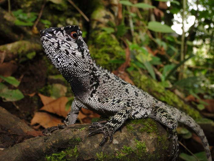New beautiful, dragon-like species of lizard discovered in the Tropical Andes