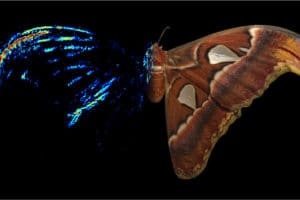 Moth wingtips an 'acoustic decoy' to thwart bat attack, scientists find