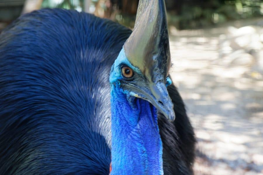 Humans may have hatched and raised deadly cassowary chicks